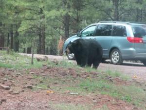 Bears in Bearizona