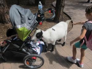 Bearizona Goats Love Baby Formula!